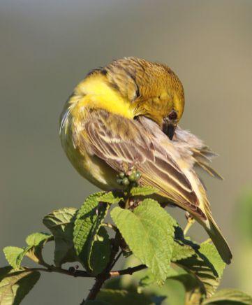 Yellow Weaver - David Swanepoel