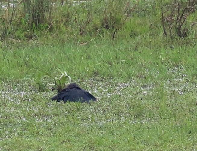 Black Heron in fishing mode