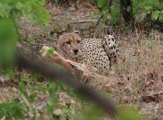 Cheetah rather full on Impala