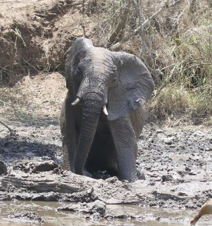Elephant on his knees stuck in the mud