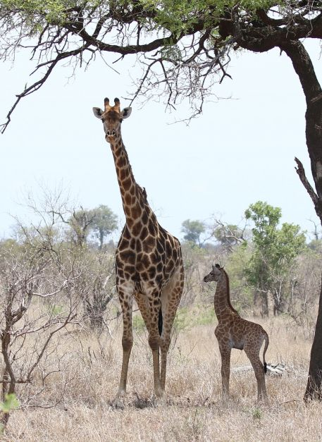 Giraffe and new born