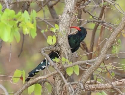 Green Wood-hoopoe