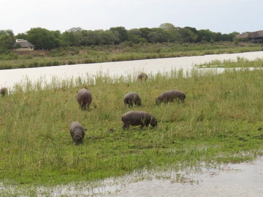 Hippo youngsters