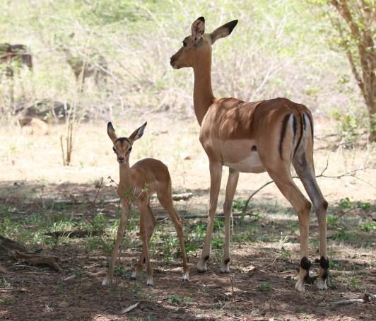 Impala with new born