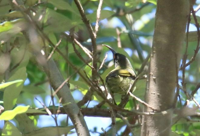 Olive Sunbird - John Bremner