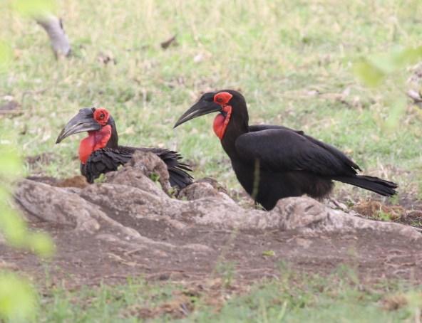 Southern Ground-Hornbills