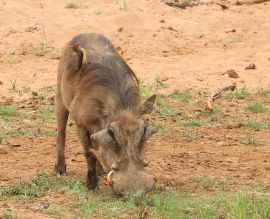 Warthog and Red-billed Oxpecker