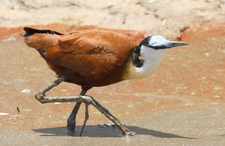 African Jacana. Sorry what was that?