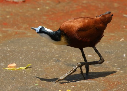 African Jacana. What did you say?