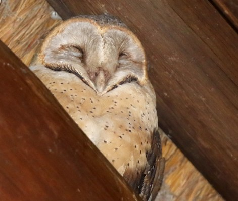Barn Owl - female
