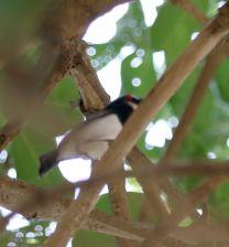Black-throated Wattle-eye at Crooks Corner on nest