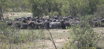 Buffalo gathering