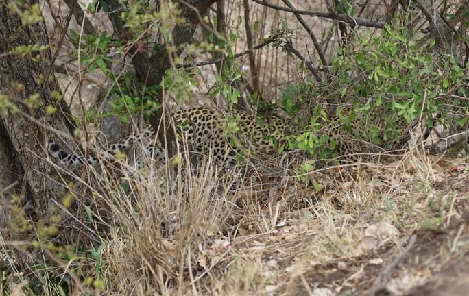 Leopard Mum