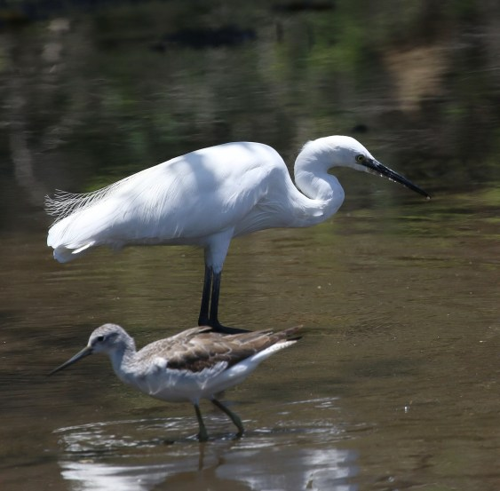 Little Egret and Common Greenshank