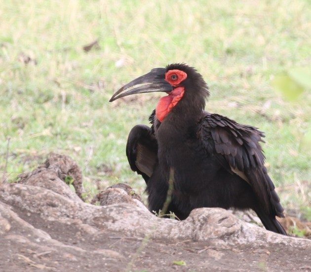 Southern Ground-Hornbill 2 0f 3