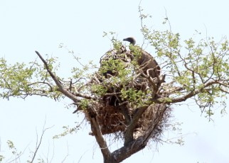 White-backed Vulture on nest ...one of several nests on the S130