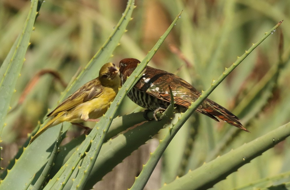 diderick cuckoo being fed by a female southern masked weaver