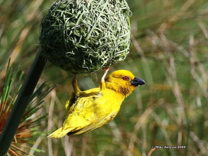 Eastern Golden Weaver - Mick Jackson