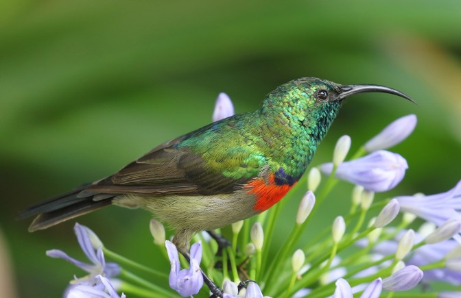 Greater Double-collared Sunbird - male