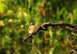Malachite Kingfisher - juvenile