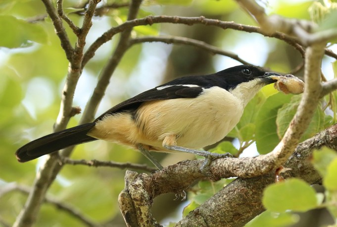 Southern Boubou.- male with delicious meal for his female