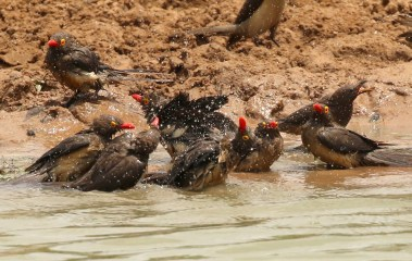 Red-billed Oxpecker - bathtime