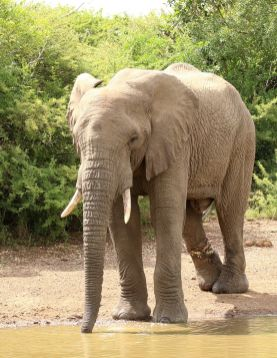 Snared Elephant