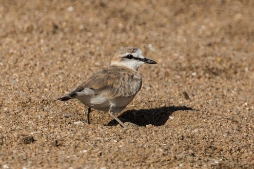 Eggs visible under plover.  Photo Rob McLennon-Smith