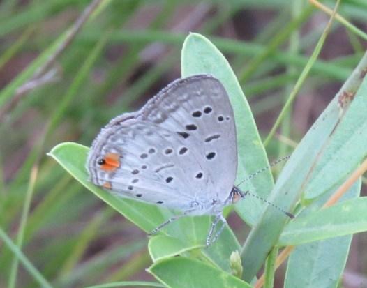 Butterfly - Common Meadow Blue -Sandi du Preez