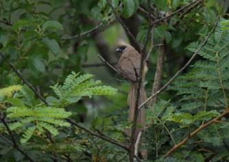 Speckled Mousebird - John Bremner