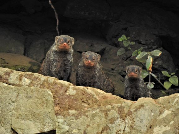 Banded mongoose family – Cati Vawda