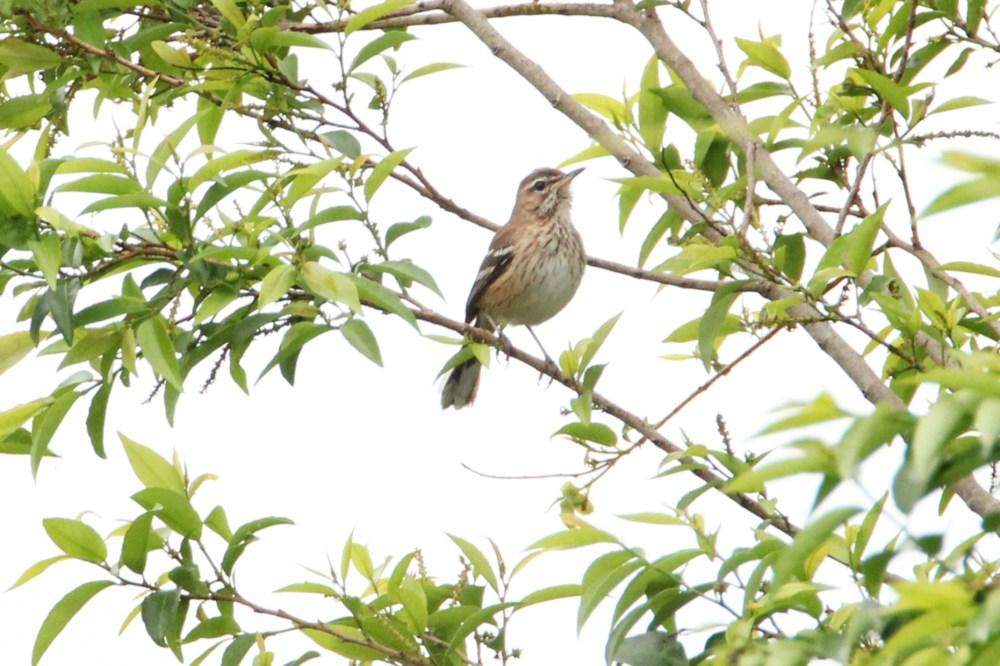 White-browed Scrub Robin