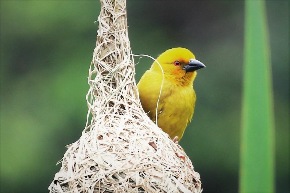 Yellow Weaver – Mike du Trevou