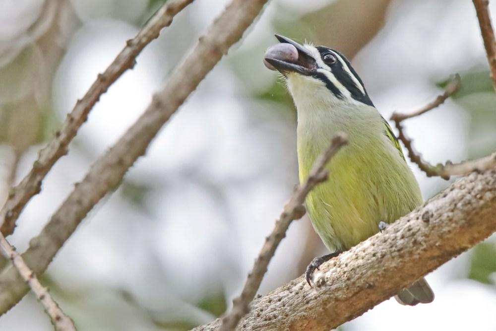 Yellow-rumped Tinkerbird ( E.J Bartlett)