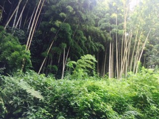 Bamboo forest in Yodoe.
