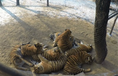 A pile of tigers.