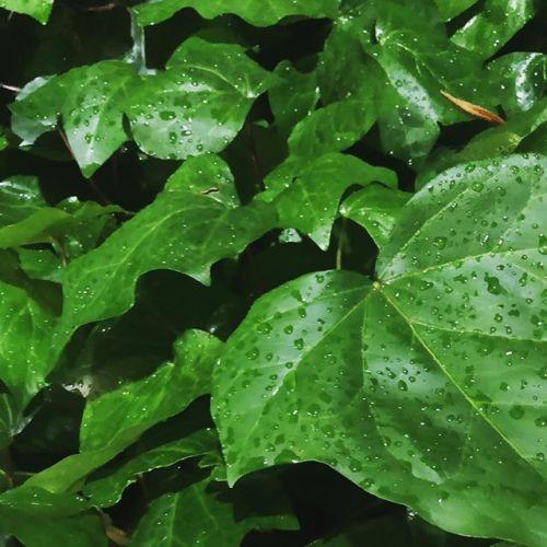 雨上がり。街灯にあってきらきらきらきら。葉っぱも青々してて元気そう笑