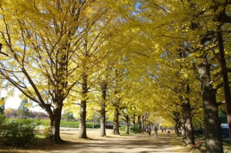 Golden leaves at Showa Kinen Park (C) Yasufumi Nishi / JNTO