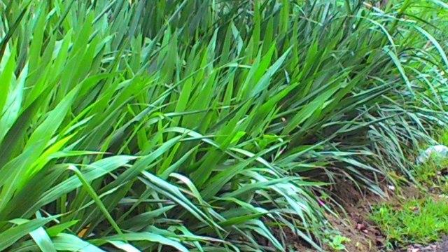 Rumput yang Tahan Kekeringan untuk Pakan Ternak Ditemukan - kumparan.com