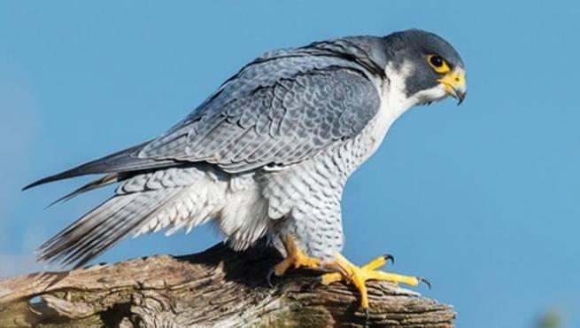 Mengenal Peregrine Falcon, Burung Elang yang Terbang Ngebut Sekencang  MotoGP - kumparan.com