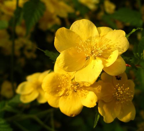 Yamabuki (Kerria Japonica) - (c) Tokyo in Bloom by Blue Moon