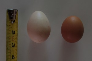 Lucy's egg is significantly bigger than the free range organic (XL?) egg