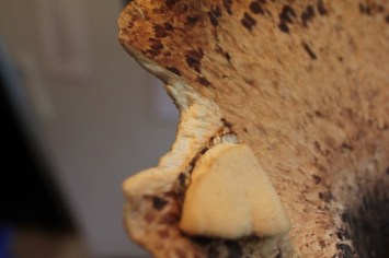 Wild Mushroom Hunting - Dryad's Saddle