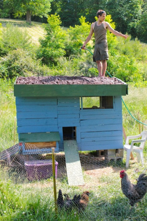 Green Roof for Chicken Coop - wetting down the soil