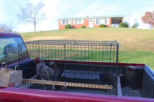 Devon on his way to the slaughter house