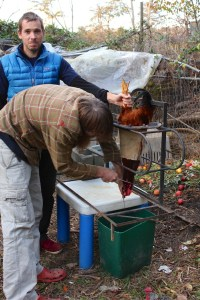 Backyard rooster butchered for eating 009