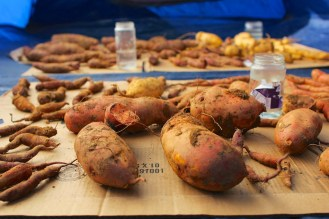 How to Cure Sweet Potatoes at Home 047
