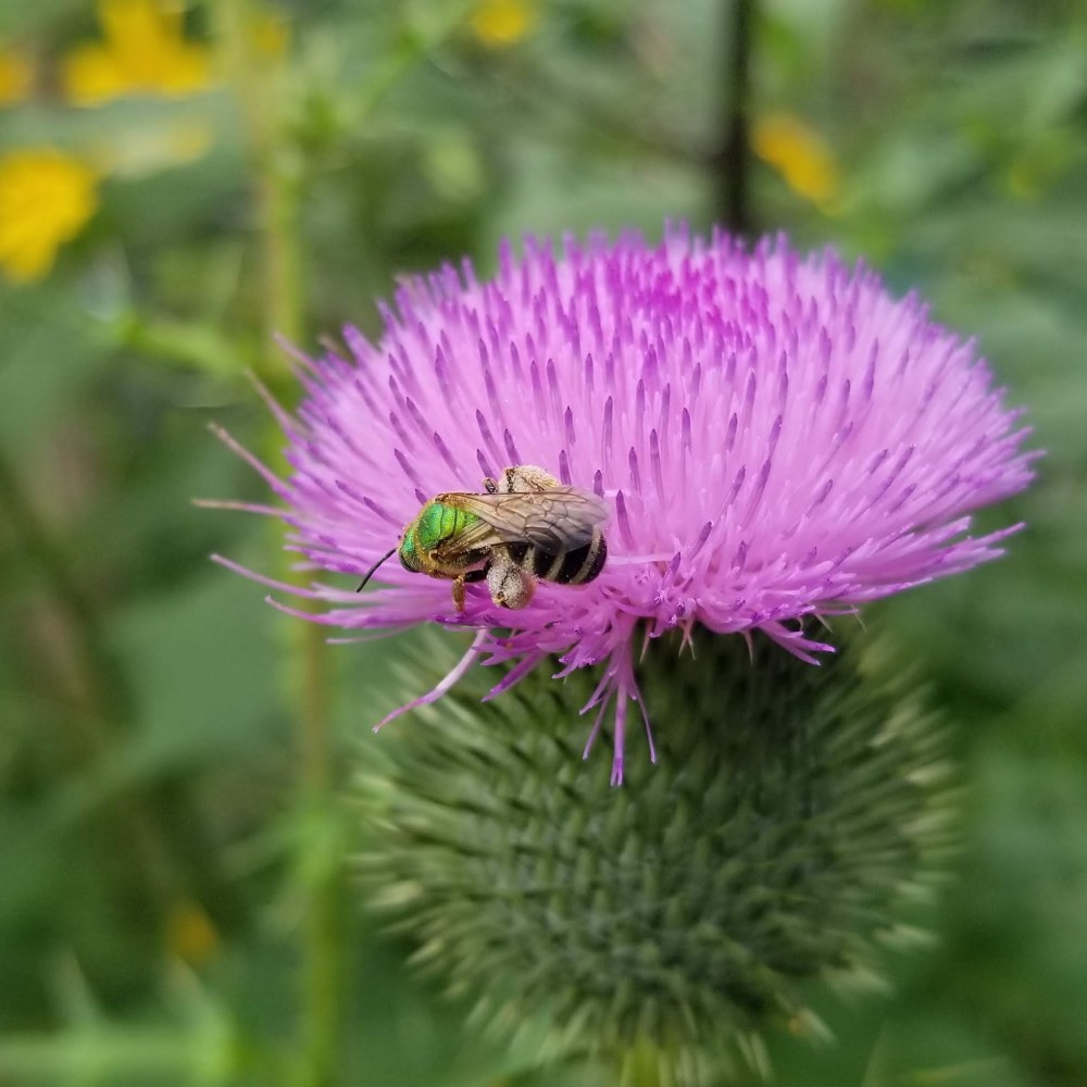 Wild about pollinators