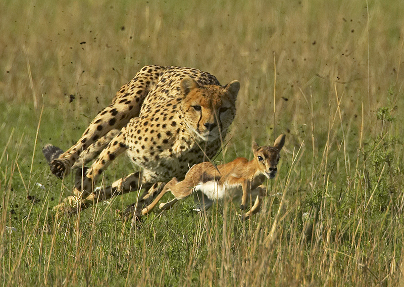 Image result for images of cheetah and gazelle