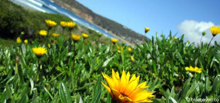 Blumen und Meer in Copacabana, Australien.